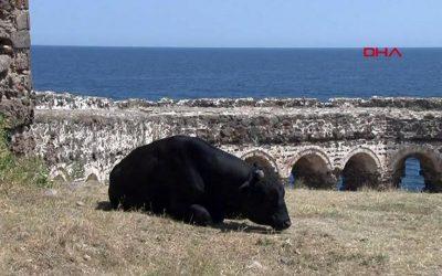 Boğaz'ın incisi Rumeli Feneri Kalesi ineklere kaldı